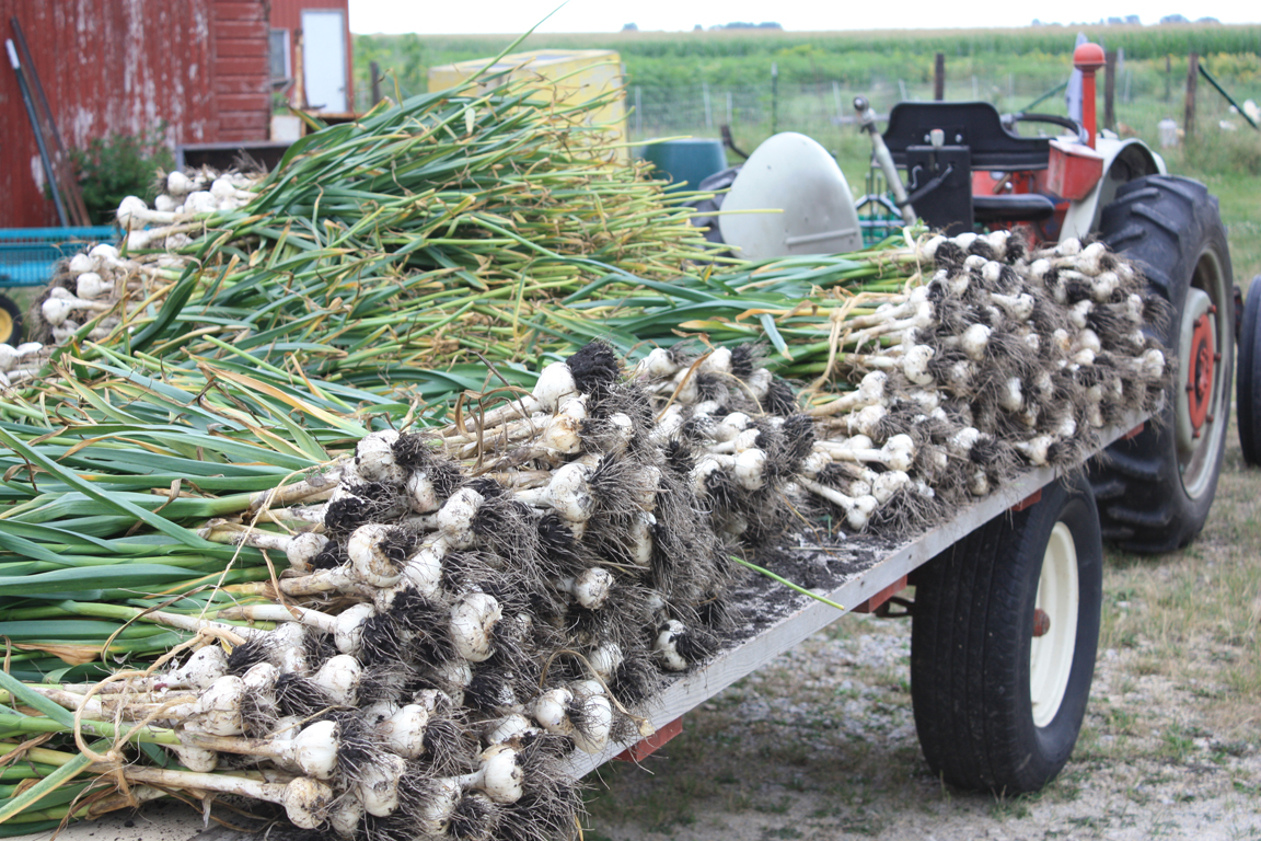 garlic on hayrack