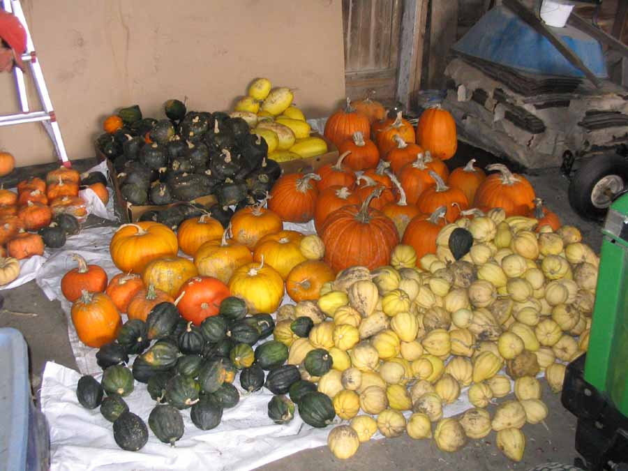 Lots of squash in an outbuilding by R Faux