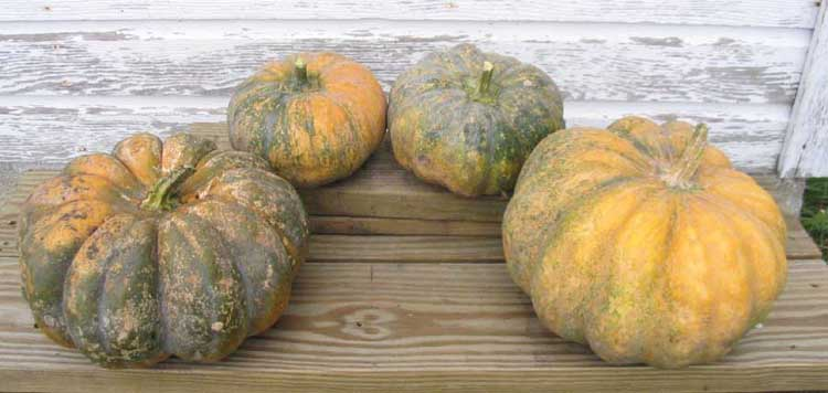 Musquee de Provence pumpkins at the farm by R Faux